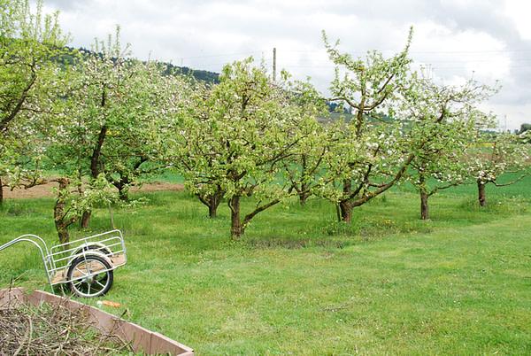 Bluehende Apfelbaume auf gruener Wiese.